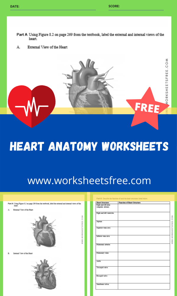 heart anatomy worksheets