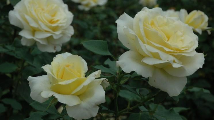 Yellow roses in garden