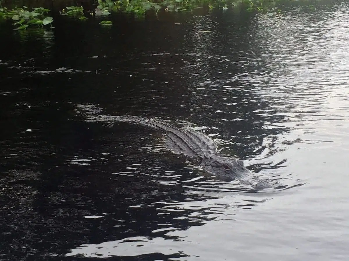 Boat captains know the names of every gator and call them, and don't feed or encourage them. Each has its own territory.
