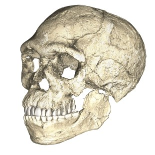 A composite reconstruction of a Homo sapiens skull