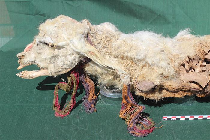 sacrificed white llama