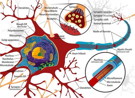 Neuron Diagrama celular