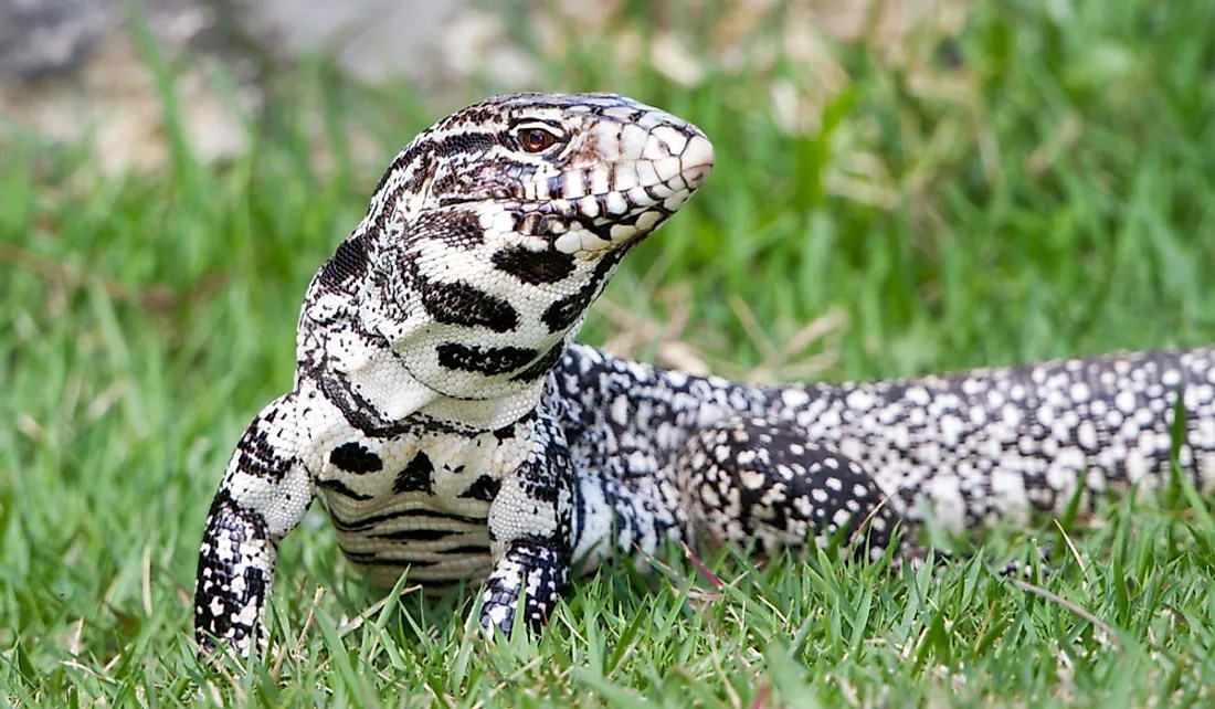 Argentine Black and White Tegu Facts Animals of South
