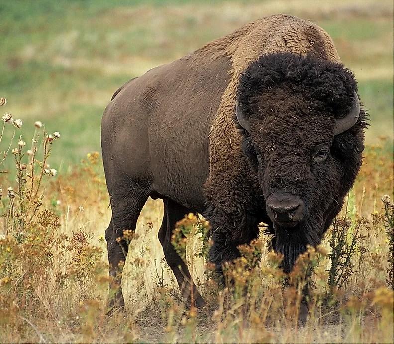 Buffalo Facts Animals Of North America