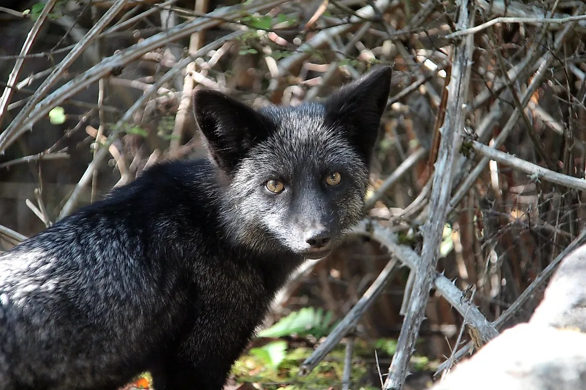 Silver Fox Facts Animals Of North America