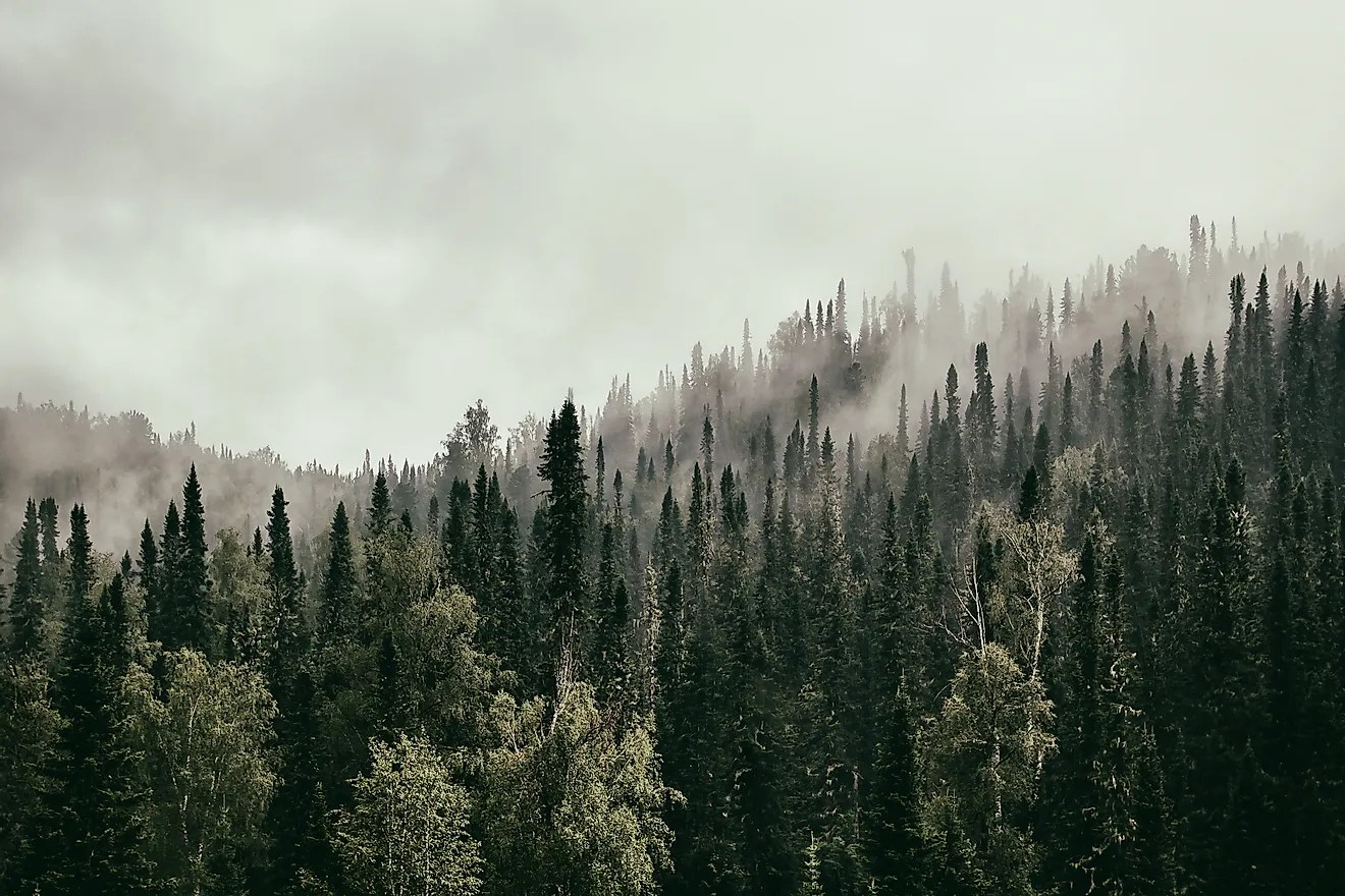 The most common type of plant that can withstand the weather conditions in the taiga are the conifer trees. What Is The Taiga Worldatlas