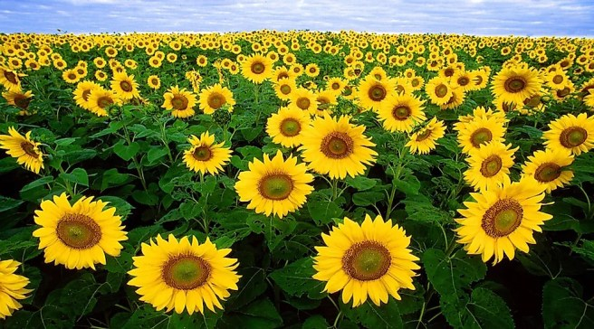 The Top Sunflower Seed Producing Countries In The World - WorldAtlas