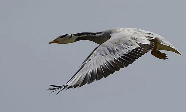 #3 Bar-headed goose - 27,825 feet
