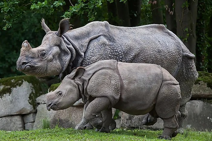 Image result for indian rhino