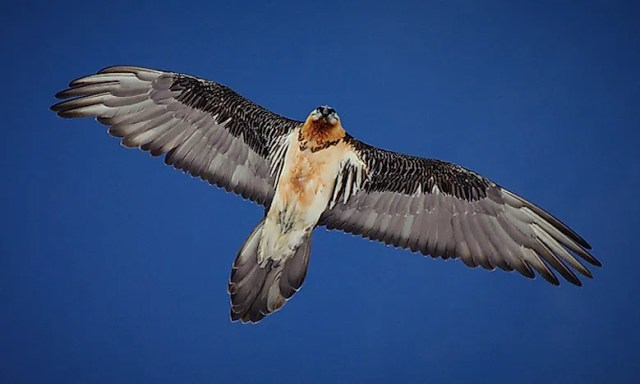 #6 Bearded vulture - 24,000 feet