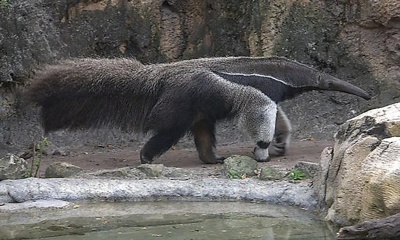 640px-giant-anteater-4531346746