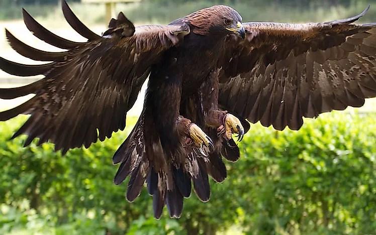 # 2 Águia Dourada