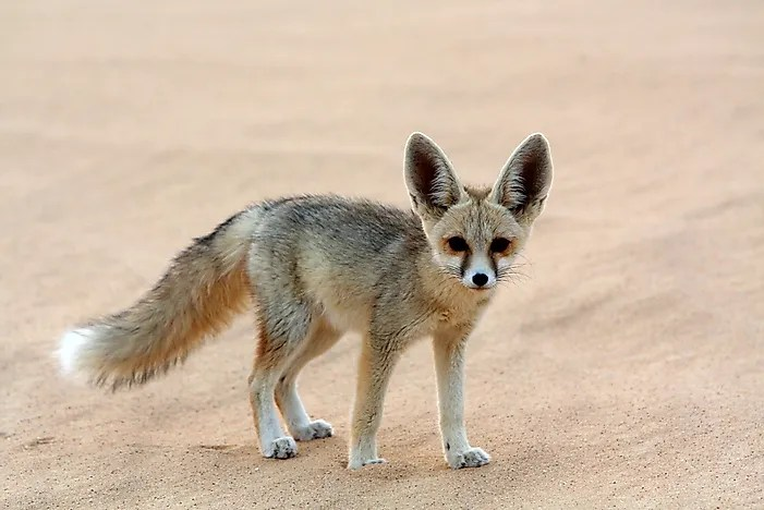 # 3 Raposas do Deserto (Fennec Fox, Pale Fox e Rüppell's Fox)