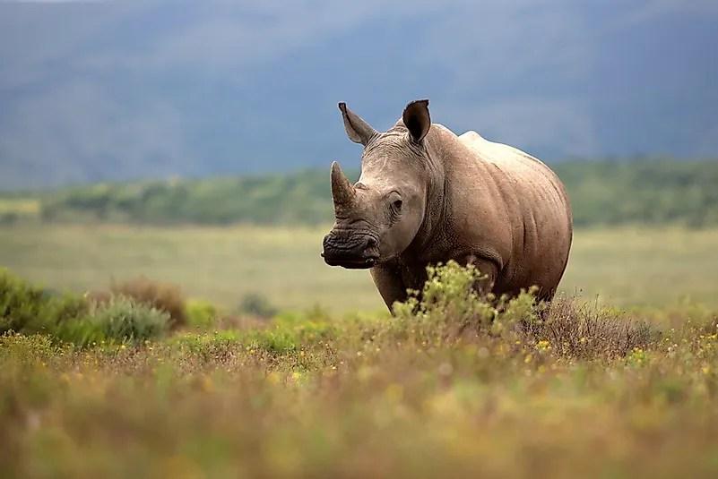 Rinoceronte branco # 3