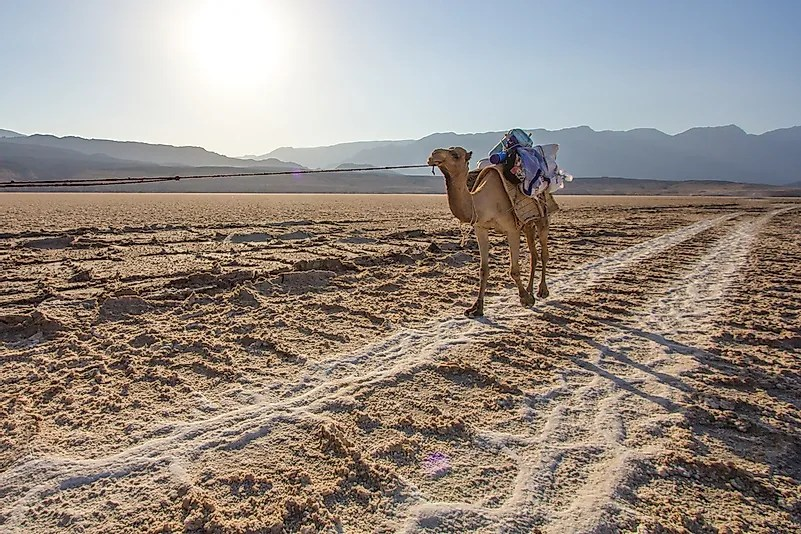Um camal que cruza planos de sal em Djibouti.