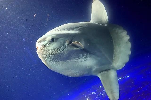 #6 Ocean sunfish