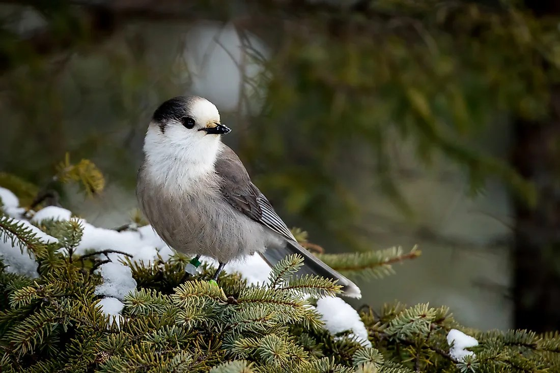 What Is The National Bird Of Canada Worldatlas