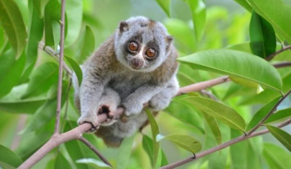 slow lorris clinging to tree branch