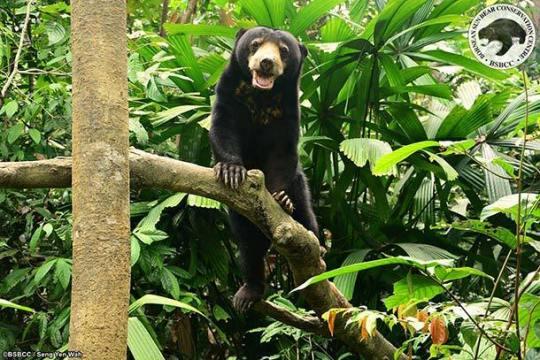 Borneo Sun Bear Conservation Centre Sandakan