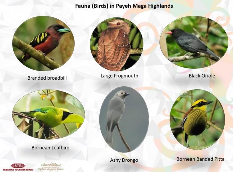 Paya Maga-birds