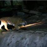 melaka-zoo-night-safari-12