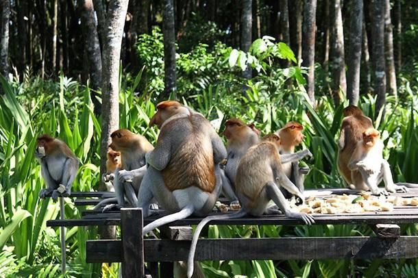 Probosis-Monkey Sanctuary Labuk Bay