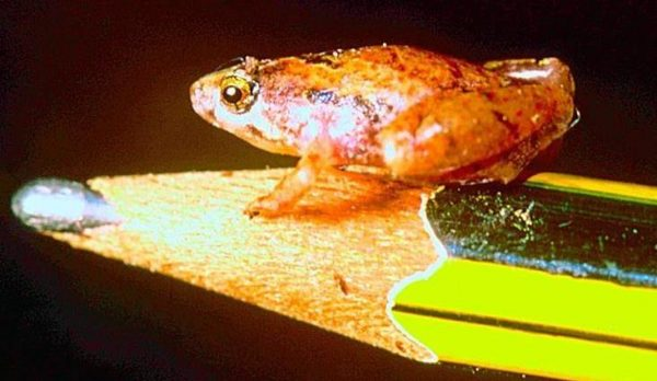 wildlife in Borneo - second smallest frog in the world
