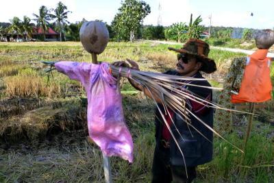 Tour beam Rashid Hisham putting a finishing touches on a scarecrow in a padi margin in TanjongKarang, Selangor.