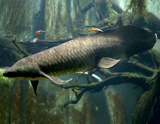 Image result for south american lungfish