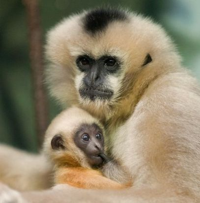 gibbon-1 It's Becoming More Common To Own Endangered Animals In Malaysia & No, It's Not a Good Thing
