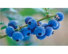Blueberries' polyphenol content changes upon cooking and baking.