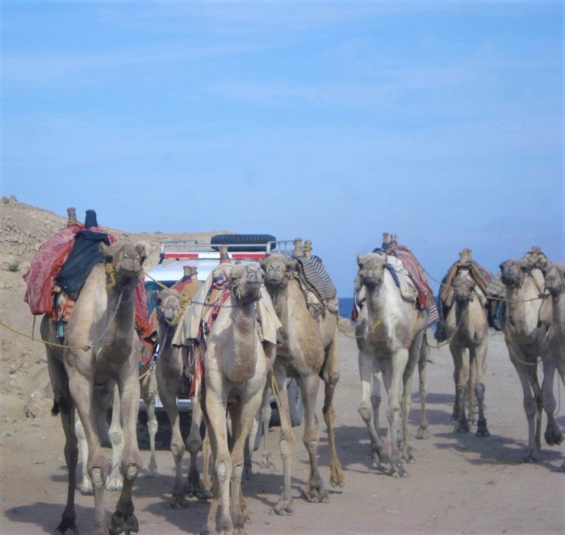 Camels walking on a road at the Blue Hole in the Sinai