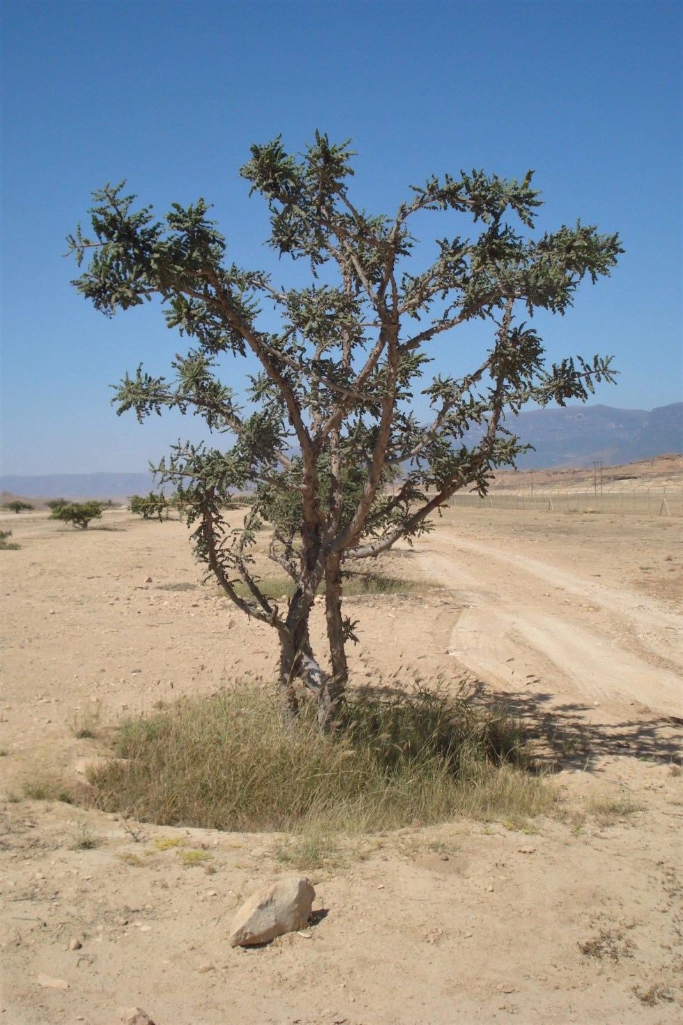 Lone frankincense tree in the middle of a lonely desert path in the Dhofar region of Oman