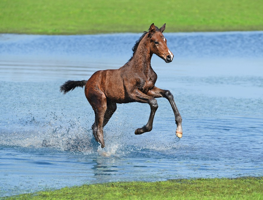 Foals on the loose at the Derby Holsteiner Foal Auction