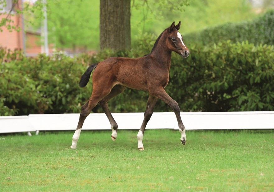 Be smart think ahead Holsteiner Foal Auction at the