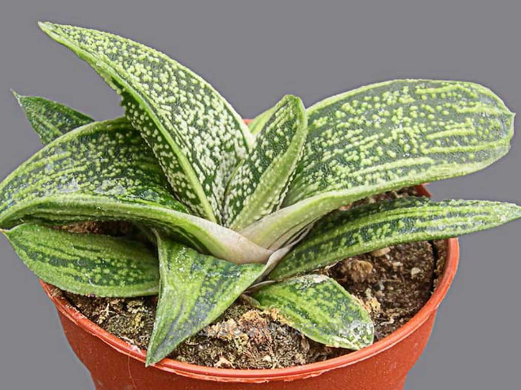 Gasteria Little Warty World Of Succulents