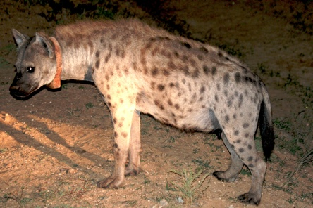 Addo Hyena-1