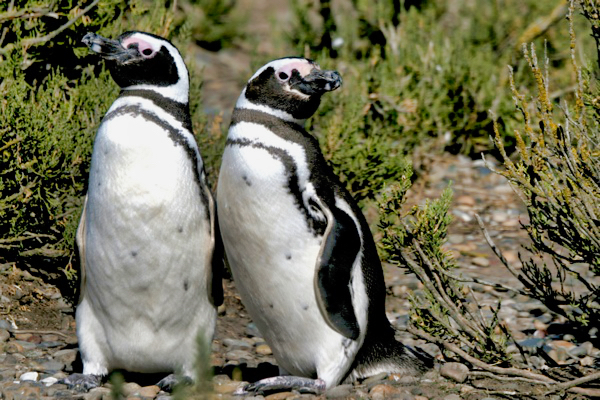 Amigos Penguins