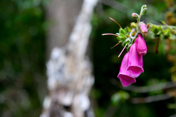 Arrayanes Flower-1