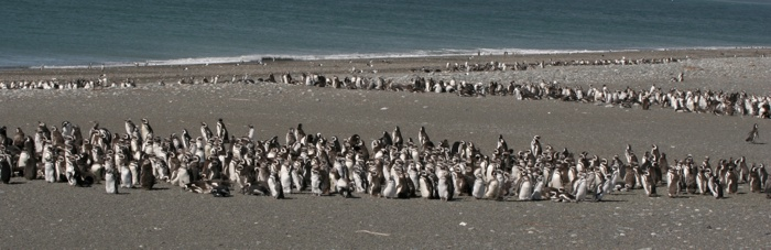 Beaching Penguins