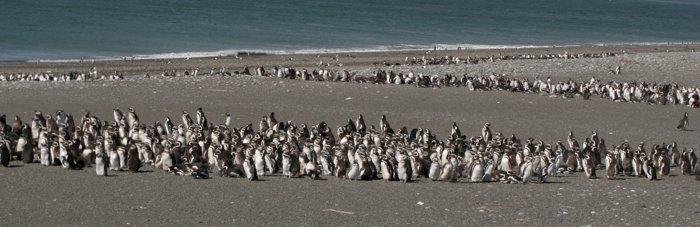 Beaching Penguins