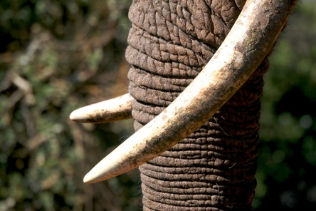Elephant Tusks Trunk-1
