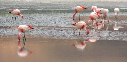 Flamingoes2-1