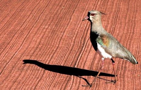 Iguazu Arg Bird