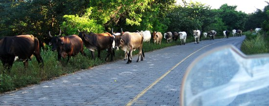 Leon Viejo Road Cattle