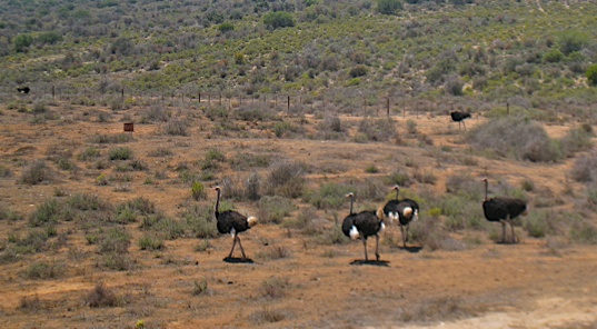Ostriches Hanging