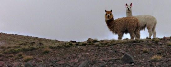 Pampas Llamas Peru