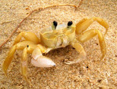 Trancoso61 Crab