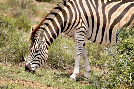 Zebra Addo-1
