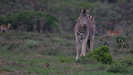 Zebra Addo2-1